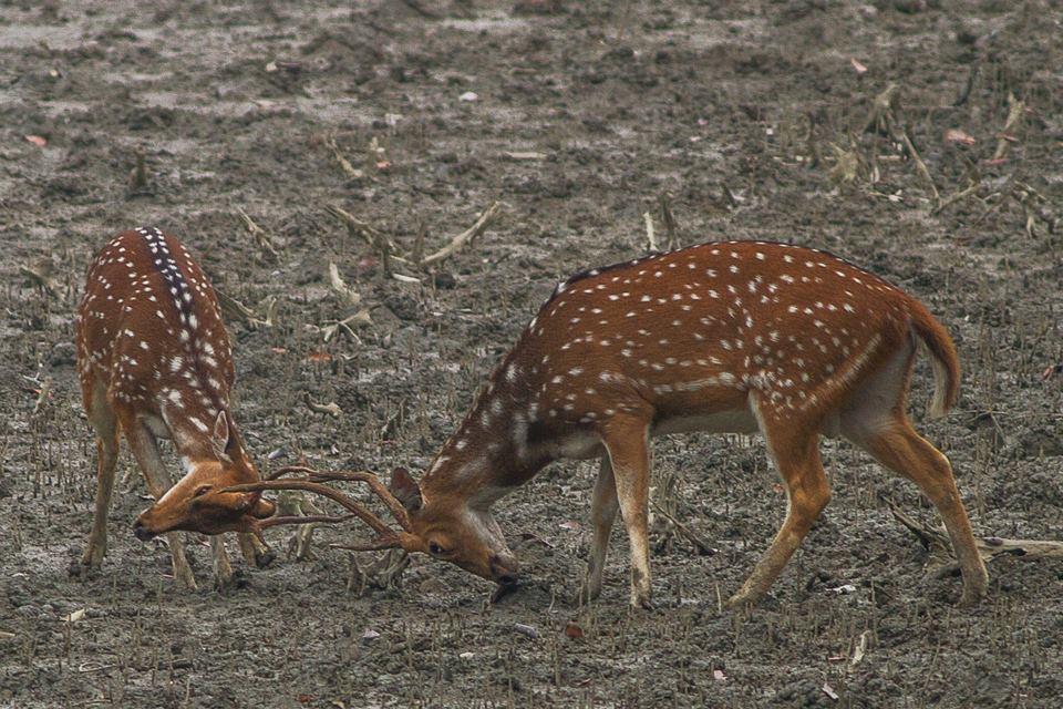 Spotted Dears known as Sundarban Dears