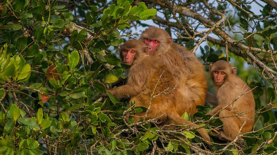 Monkey at Sundarban Forest